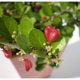 観葉植物「HEART TREE  ハートツリー」