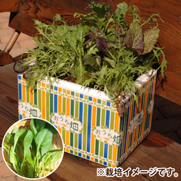 栽培キット「おうち畑〜ほうれん草〜」