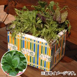 栽培キット「おうち畑〜小松菜〜」