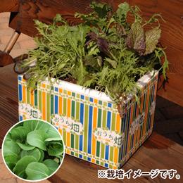 栽培キット「おうち畑〜ミニチンゲンサイ〜」
