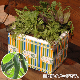 栽培キット「おうち畑〜キュウリ〜」