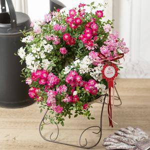 母の日 鉢植え「Welcome Rose」