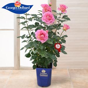 母の日 鉢植え「憧れのフレンチローズ ピンクパラダイス」