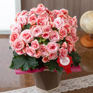 母の日 鉢植え「大輪バラ咲きベゴニア ボリアス」