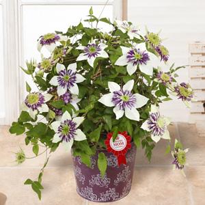 母の日 鉢植え「プレミアムクレマチス ビエネッタ」