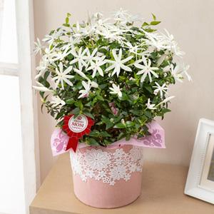 母の日 鉢植え「癒しの天然アロマ ワイルドスタージャスミン」