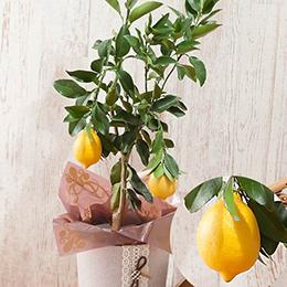 父の日 鉢植え「レモン」