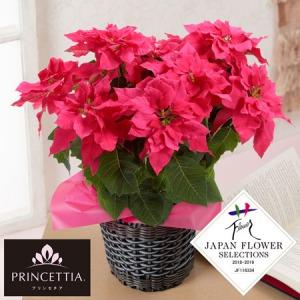 鉢植え「八重咲きプリンセチア オペラ」