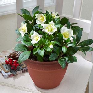 鉢植え「クリスマスローズ ニゲル」
