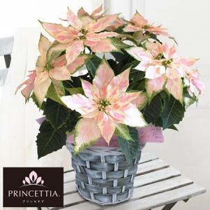 鉢植え「八重咲きプリンセチア ロゼマーブル」