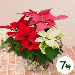 鉢植え「ミックス・クリスマス(7号)」