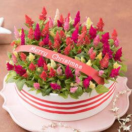 鉢植え「キャンドルケーキ〜クリスマスバージョン〜」