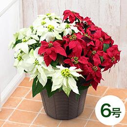 鉢植え「プリンセチア チェリーレッド&ピュアホワイト」