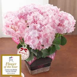 母の日 鉢植え「アジサイ KEIKO〜フラワー・オブ・ザ・イヤー2015受賞〜」