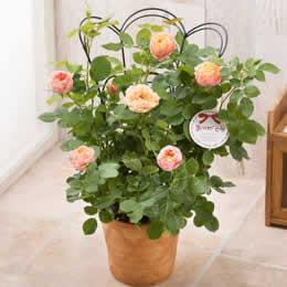 母の日 鉢植え「バラ ベビーロマンティカ〜トレリス付き〜」