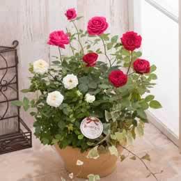 母の日 寄せ植え「3色のバラを使ったローズ・コンテナ」