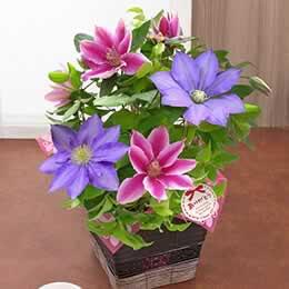 母の日 鉢植え「華やかな2色植えクレマチス」