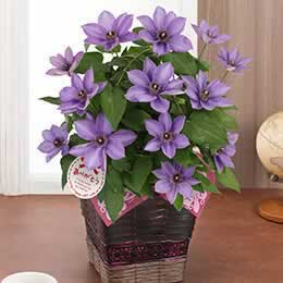 母の日 鉢植え「クレマチス ミゼットブルー」
