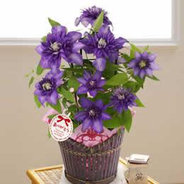母の日 鉢植え「上品な紫の万重咲きクレマチス」