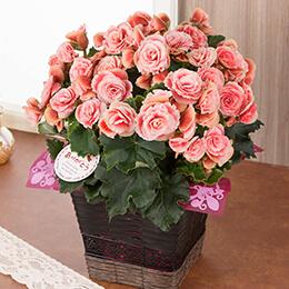 母の日 鉢植え「バラ咲きベゴニア ボリアス」