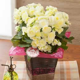 母の日 鉢植え「バラ咲きベゴニア ボンボンレモン」
