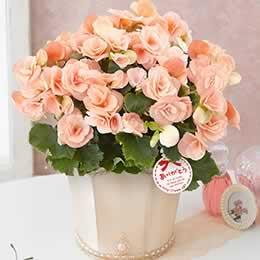 母の日 鉢植え「バラ咲きベゴニア ビノスソフトピンク」