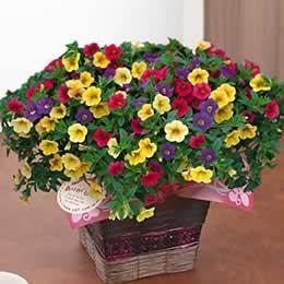 母の日 鉢植え「カリブラコア カーニバル」