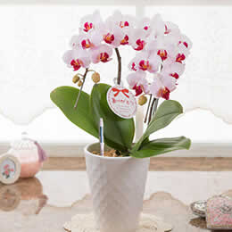 母の日 鉢植え「胡蝶蘭 リーベ」