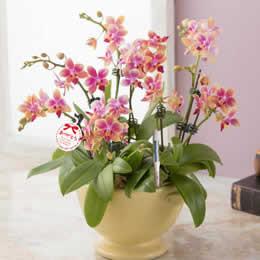 母の日 鉢植え「胡蝶蘭 スイートイエロー」