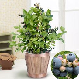 鉢植え「実付きブルーベリー」