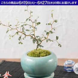 父の日 盆栽「メルヘン・ツリー」