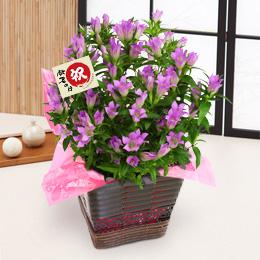 敬老の日 鉢植え「りんどう〜優雅な大人の桃紫色〜」