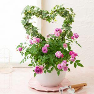 敬老の日 鉢植え「香りのミニバラ スイートチャリオット」