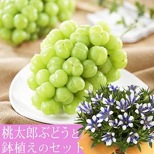敬老の日 りんどう白寿鉢植えセット「岡山県産 桃太郎ぶどう」