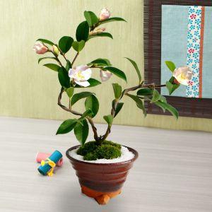 お正月 盆栽「香り椿 春風」
