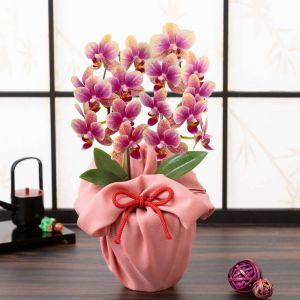 お正月 鉢植え「幸せの胡蝶蘭」