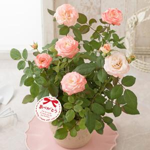 母の日 鉢植え「ミニバラ ホワイトピーチオベーション」