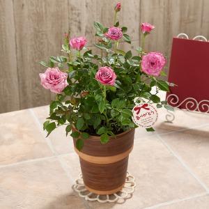 母の日 鉢植え「ミニバラ ブルーオベーション」