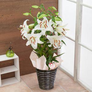 母の日 鉢植え「オリエンタルリリー 花の女王カサブランカ」