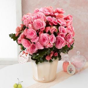 母の日 鉢植え「大輪バラ咲きベゴニア ベルセバライトピンク」