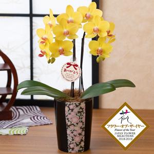 母の日 鉢植え「胡蝶蘭 ナオミゴールド」