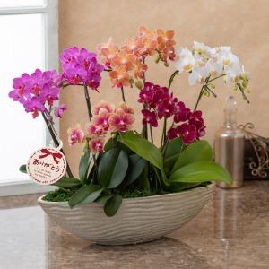 母の日 鉢植え「プレミアム胡蝶蘭 5色10本立ち」