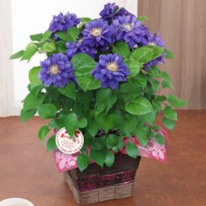 母の日 鉢植え「クレマチス キリテカナワ」
