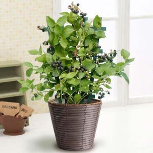 父の日 鉢植え「実付きブルーベリー〜収穫が待ちどおしい〜」