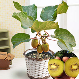 父の日 鉢植え「キウイフルーツ」