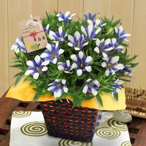 敬老の日 鉢植え「リンドウ 白寿〜長寿の願いを込めて〜」