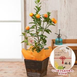敬老の日 鉢植え「大実金柑 福寿」