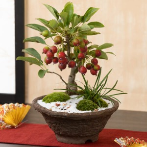 敬老の日 盆栽「姫リンゴ」