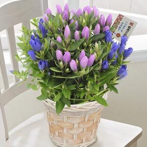敬老の日 鉢植え「安代リンドウ2色植え」