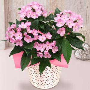 敬老の日 鉢植え「におい桜」